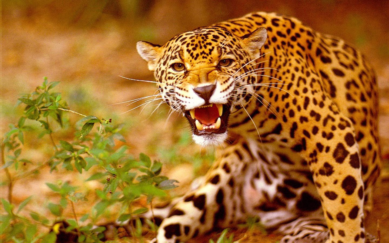 Рецепт ягуара